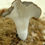 Oyster mushroom on US Federal Reserve